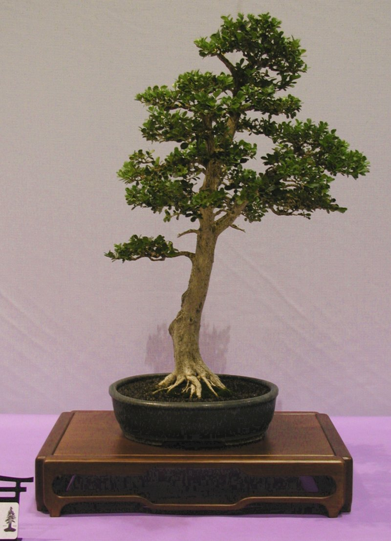 Bonsainurseryman Wiring Yew Bonsai This Is A Very Natural Composition Which Overcomes The Greatest Drawback To Using Boxwood As Material Thick Branches Relative Trunk