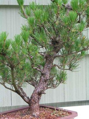 Japanese_black_pine_2_029a
